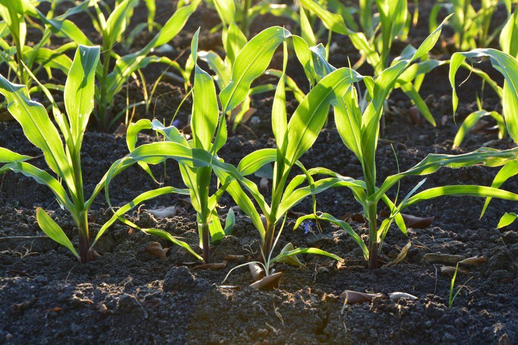 Biogas - junger Mais